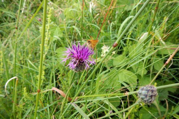 Skabiosen-Flockenblume (Centaurea scabiosa L.)